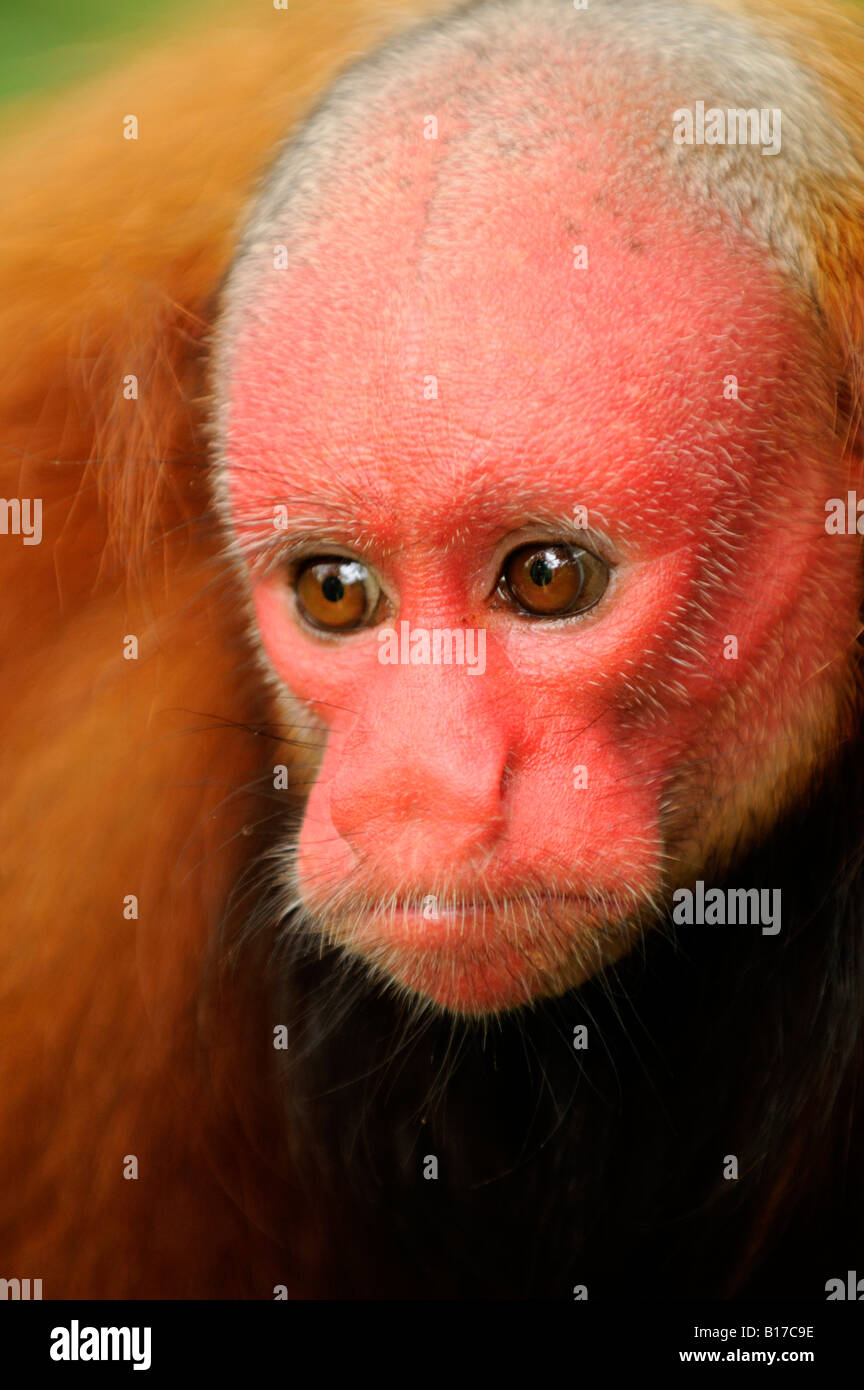 Red uakari monkey Cacajao calvus ucayalii Stock Photo