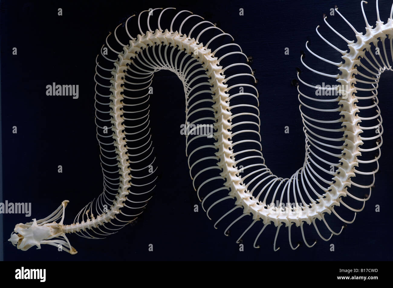 Superb Snake Skeleton Diagram Basic Electronics Wiring Diagram Wiring Cloud Ratagdienstapotheekhoekschewaardnl