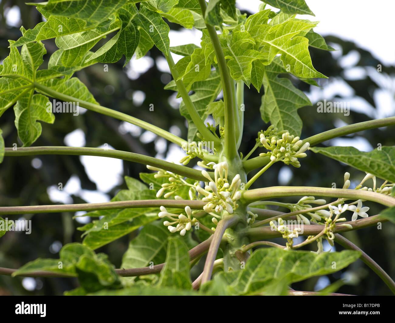 papaya fruit tree flowers - Stock Image