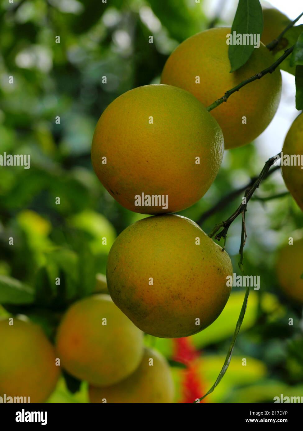 organic oranges on tree Stock Photo