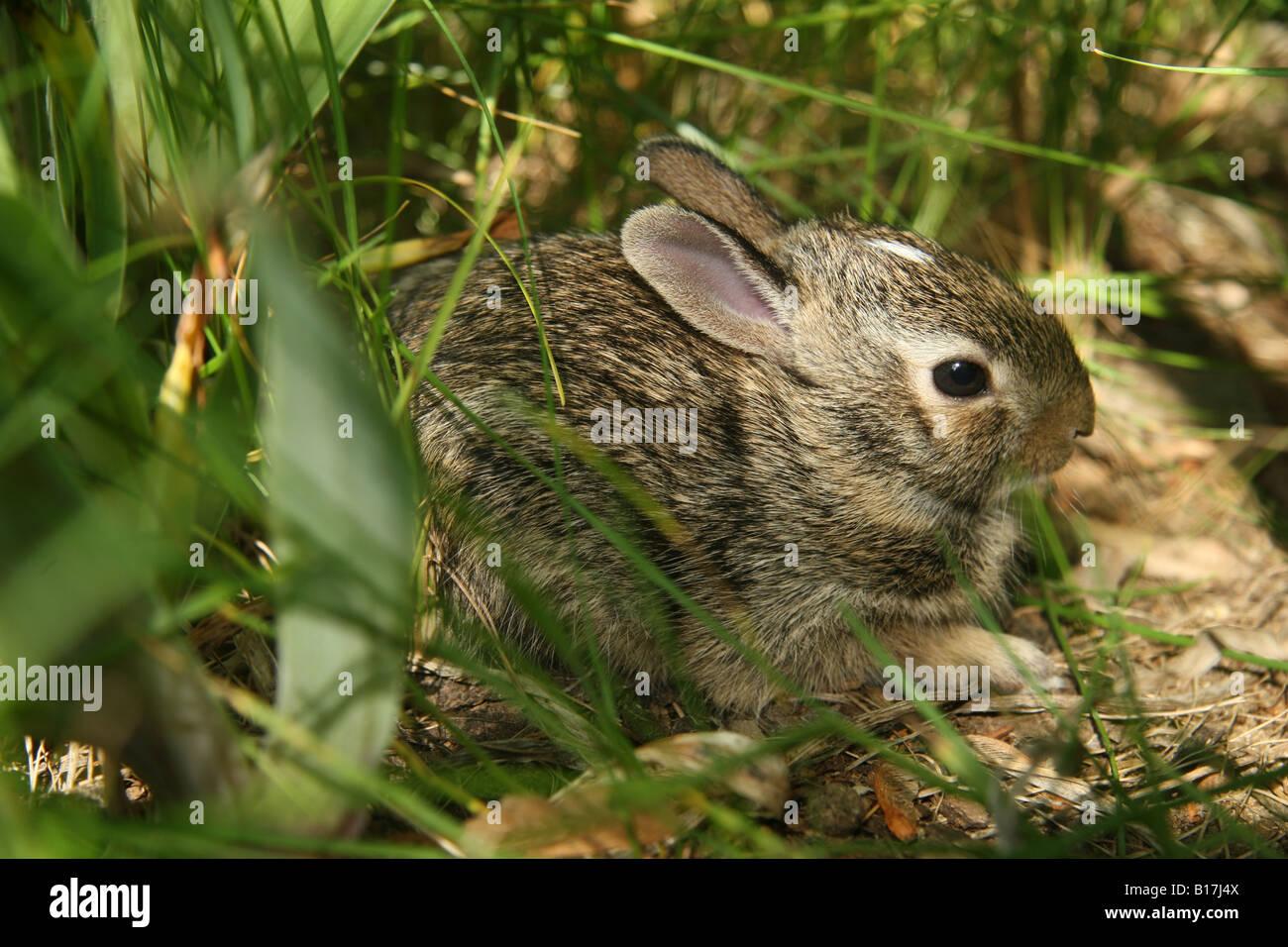 Eastern Cottontail rabbit kitten hiding in undergrowth. Stock Photo