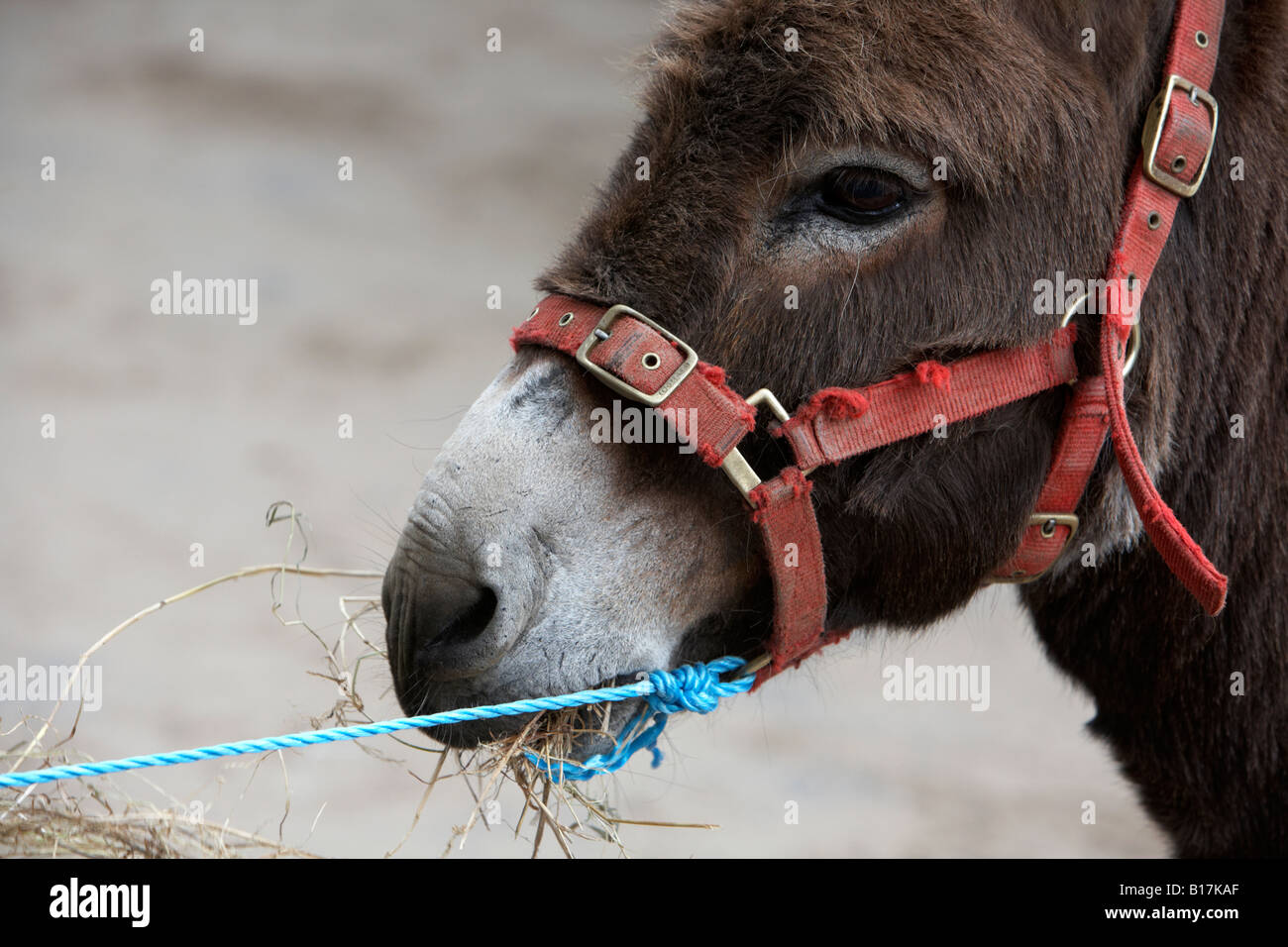 head and face of a donkey with bridle tied with blue rope eating straw at the ballyclare may fair - Stock Image