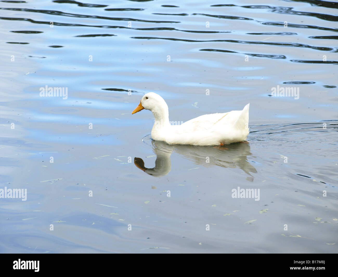 white duck in pond - Stock Image