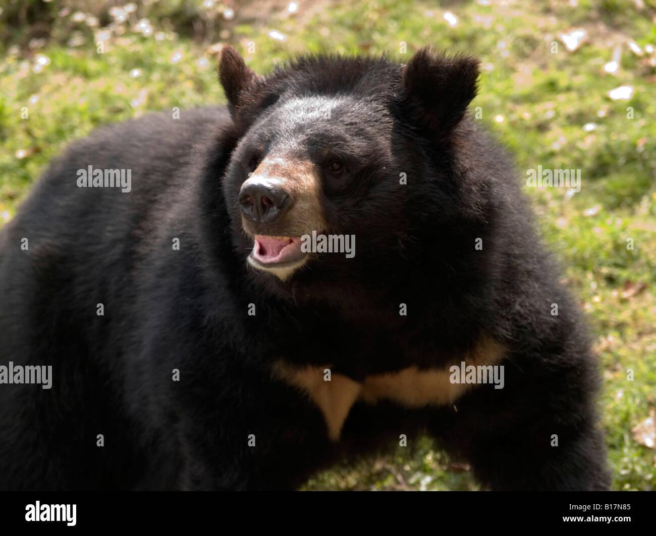 large Himalayan black bear - Stock Image