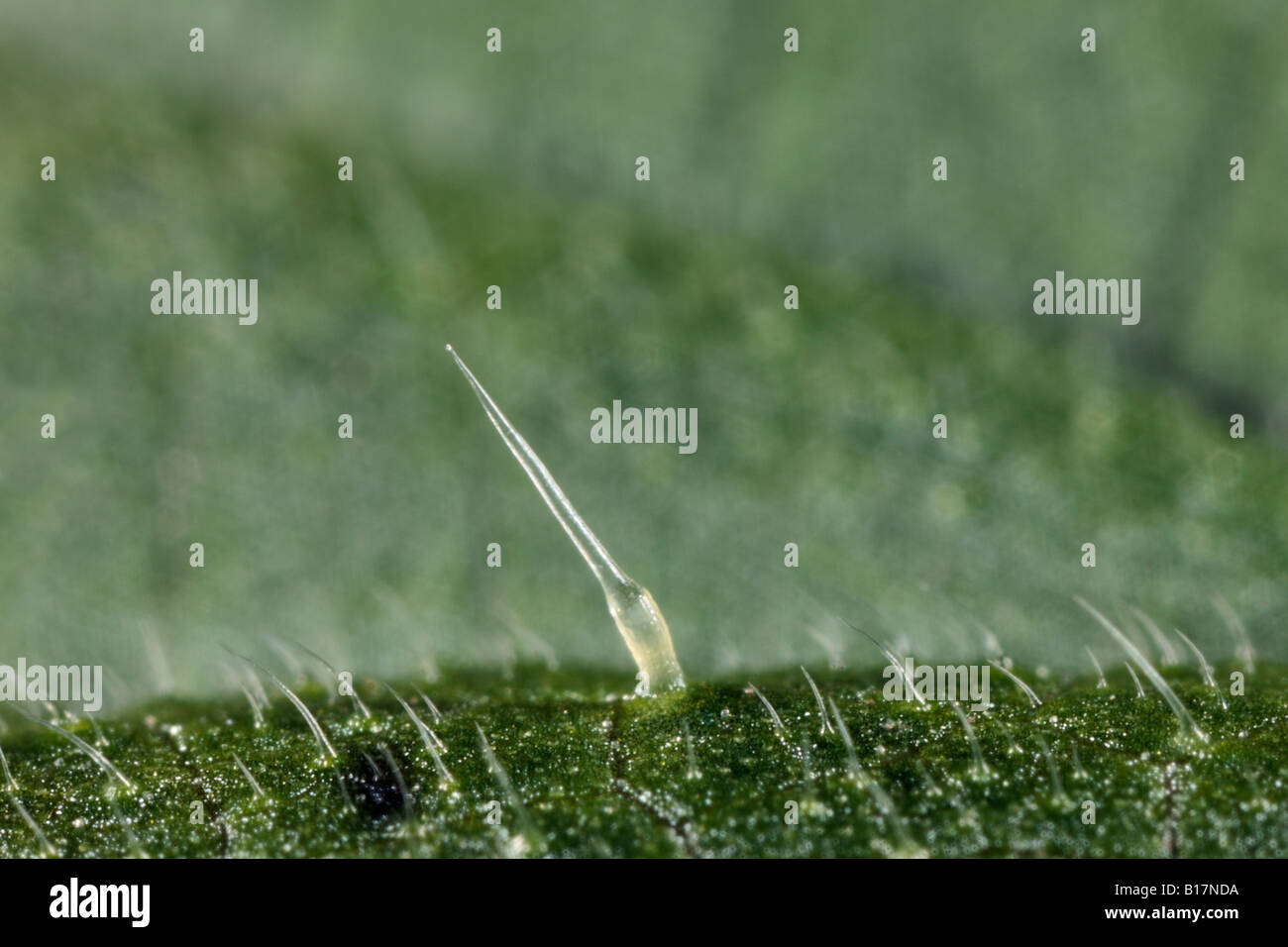 stinging nettle Urtica dioica sting close up Potton Bedfordshire - Stock Image