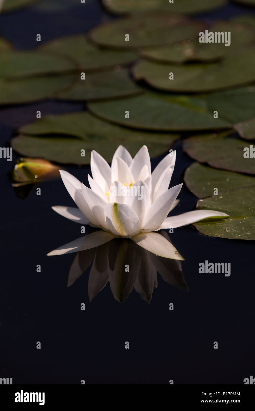 Nymphaea Hermine. Water lily and reflection in a pond. UK - Stock Image