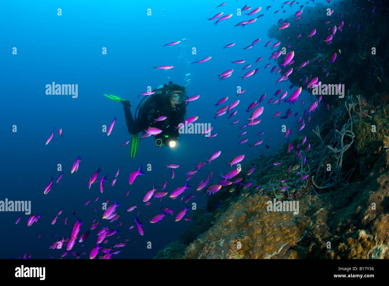 scuba diver with shoal of yellowback anthias Pseudanthias tuka Maolboal Cebu Philippines Stock Photo