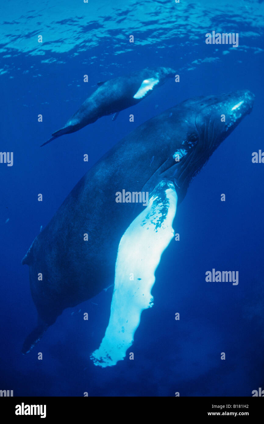 Humpback Whales Mother and Calw Megaptera novaeangliae Silver Banks Caribbean Sea Dominican Republic - Stock Image