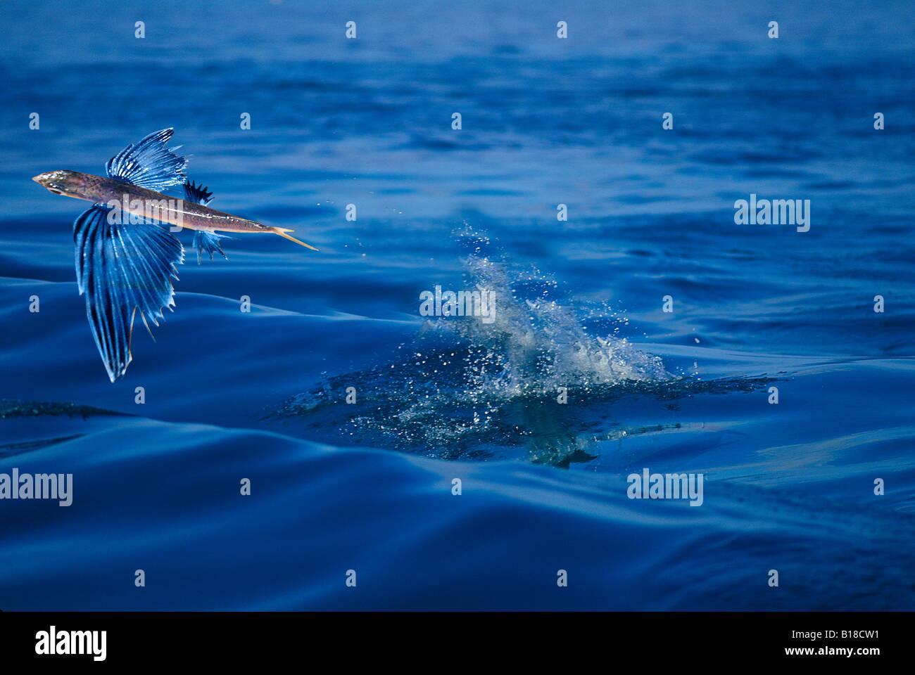 Flying fish Exocetus spec Caribbean Sea Stock Photo