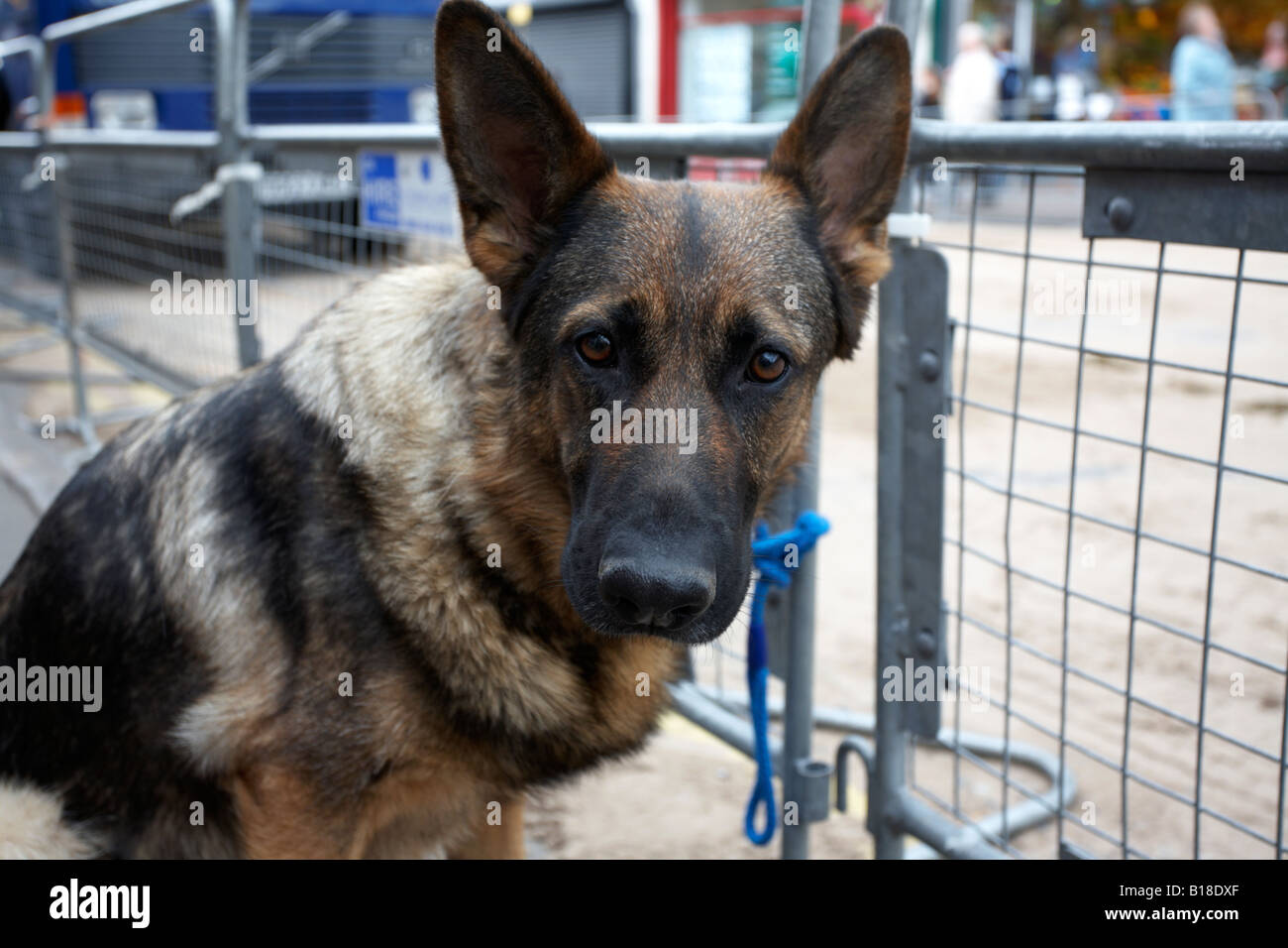alsatian german shepherd dog tied to fence waiting for owner ballyclare northern ireland Stock Photo