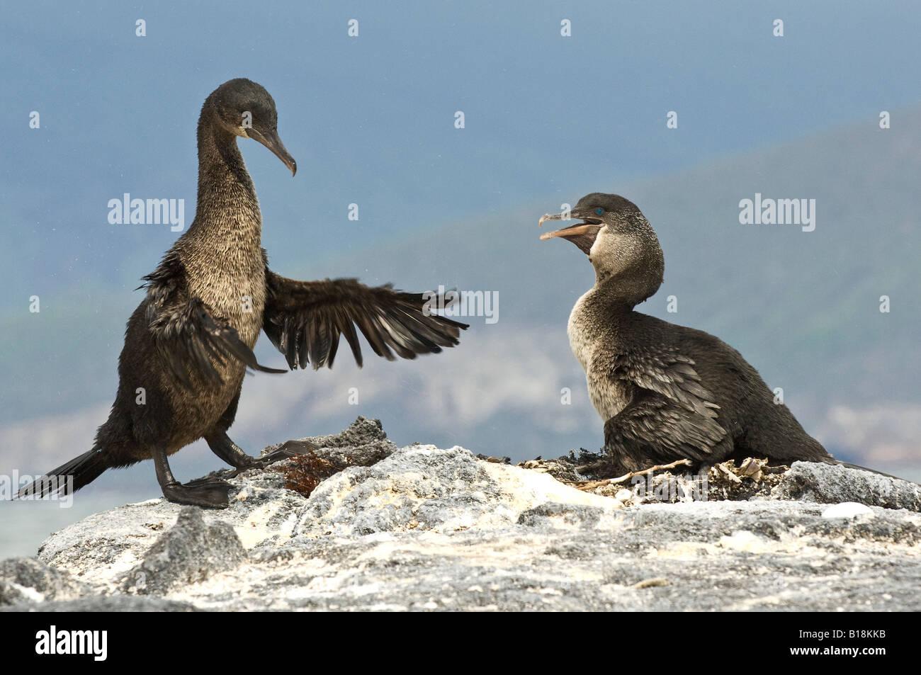 A male Flightless Cormorant returns to the nest, Fernandina island, Galapagos - Stock Image