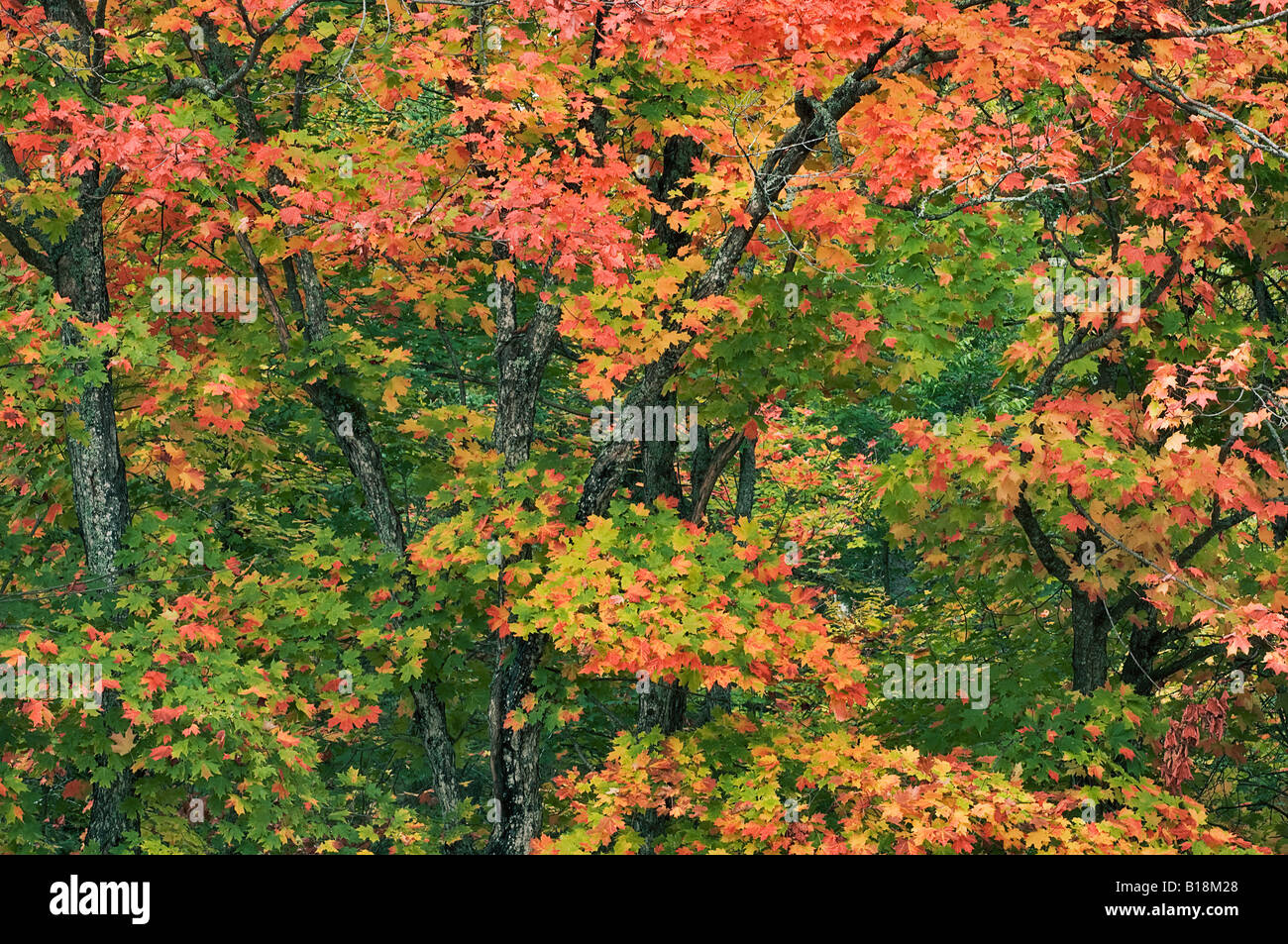 Sugar maple trees (Acer saccharum) with red autumn foliage in Stock ...