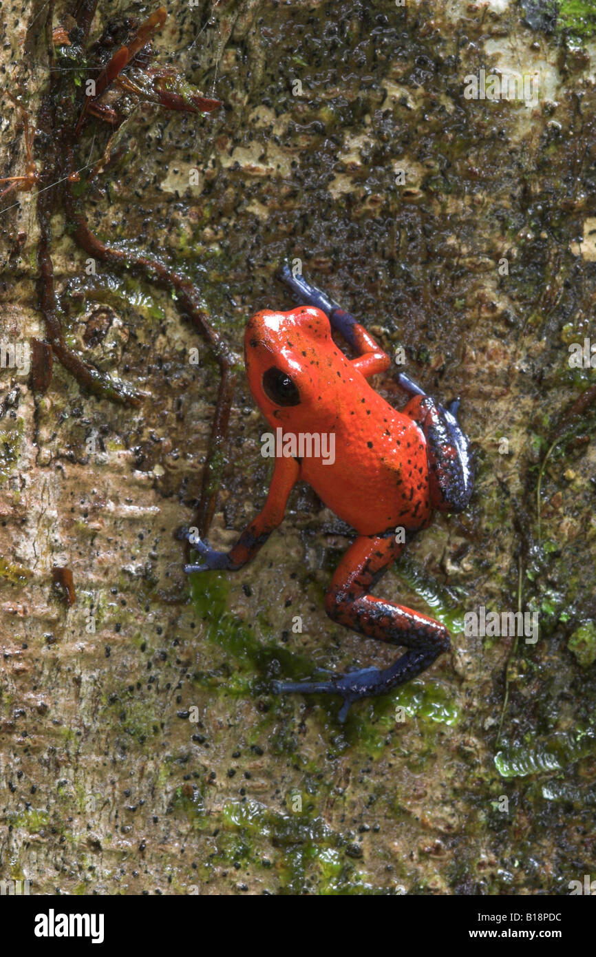 A Strawberry Blue-jeans Poison Dart Frog (Dendrobates pumilio) in Costa Rica. - Stock Image