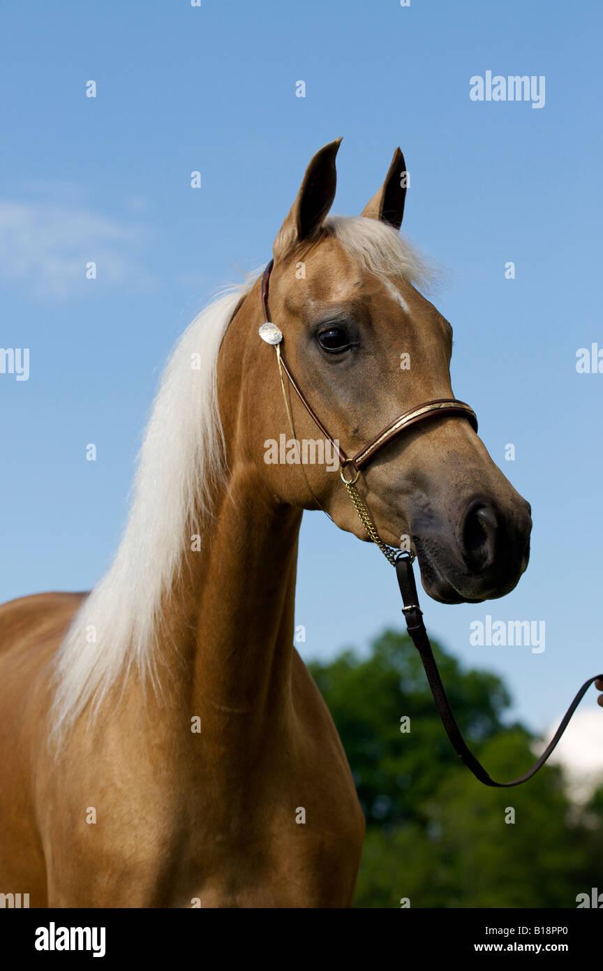 Golden Palomino Horse Stock Photo Alamy