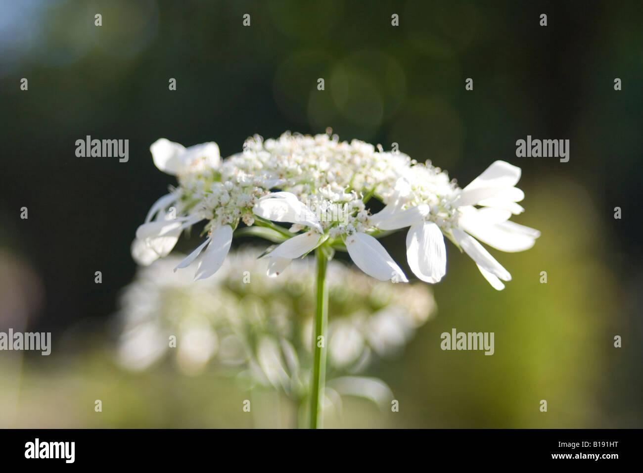 orlaya grandiflora apiaceae Stock Photo