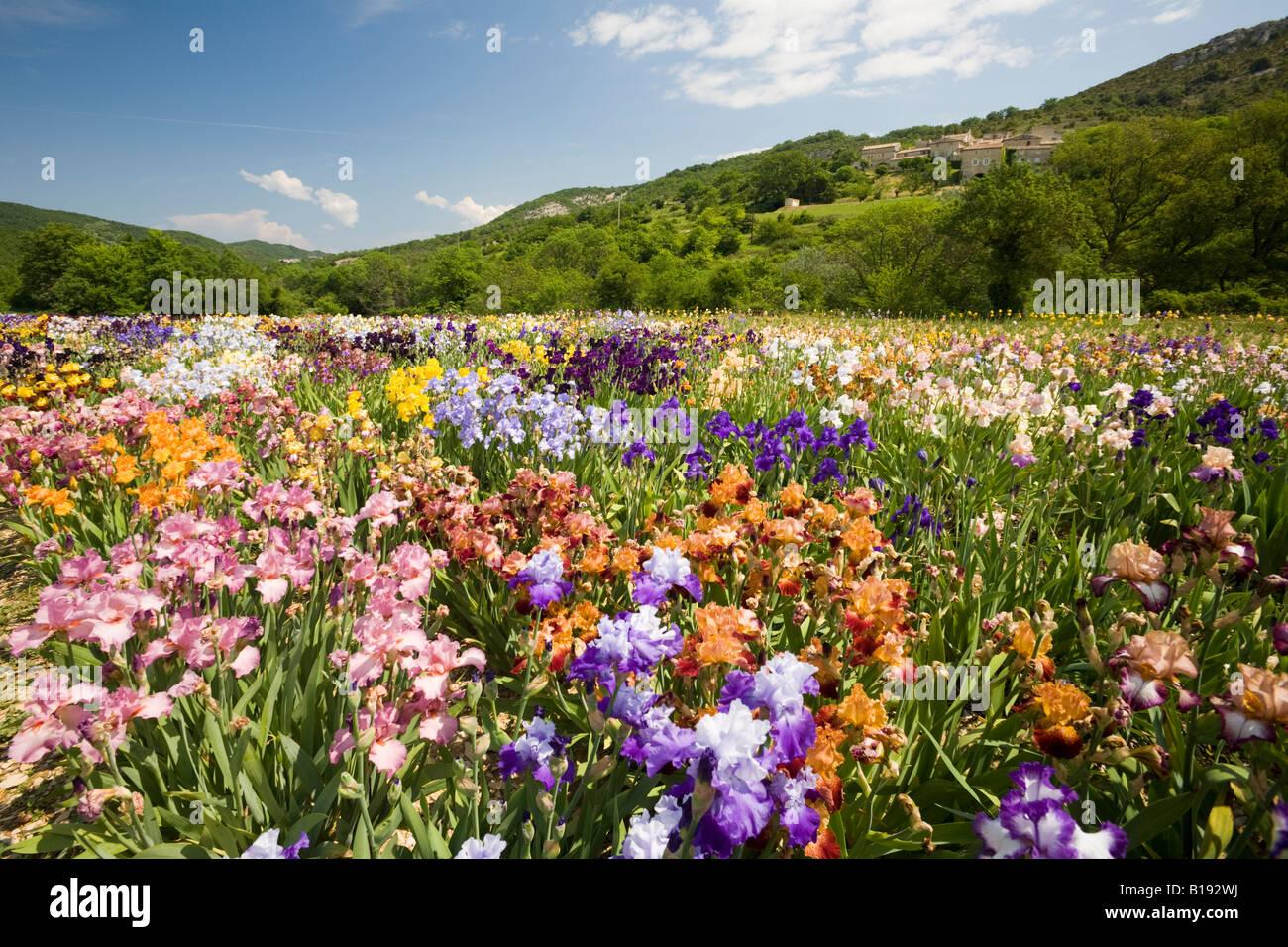 Iris cultivation (Iris germanica) in Ardeche (France). Culture d'Iris (Iris germanica) en Ardèche (France). - Stock Image