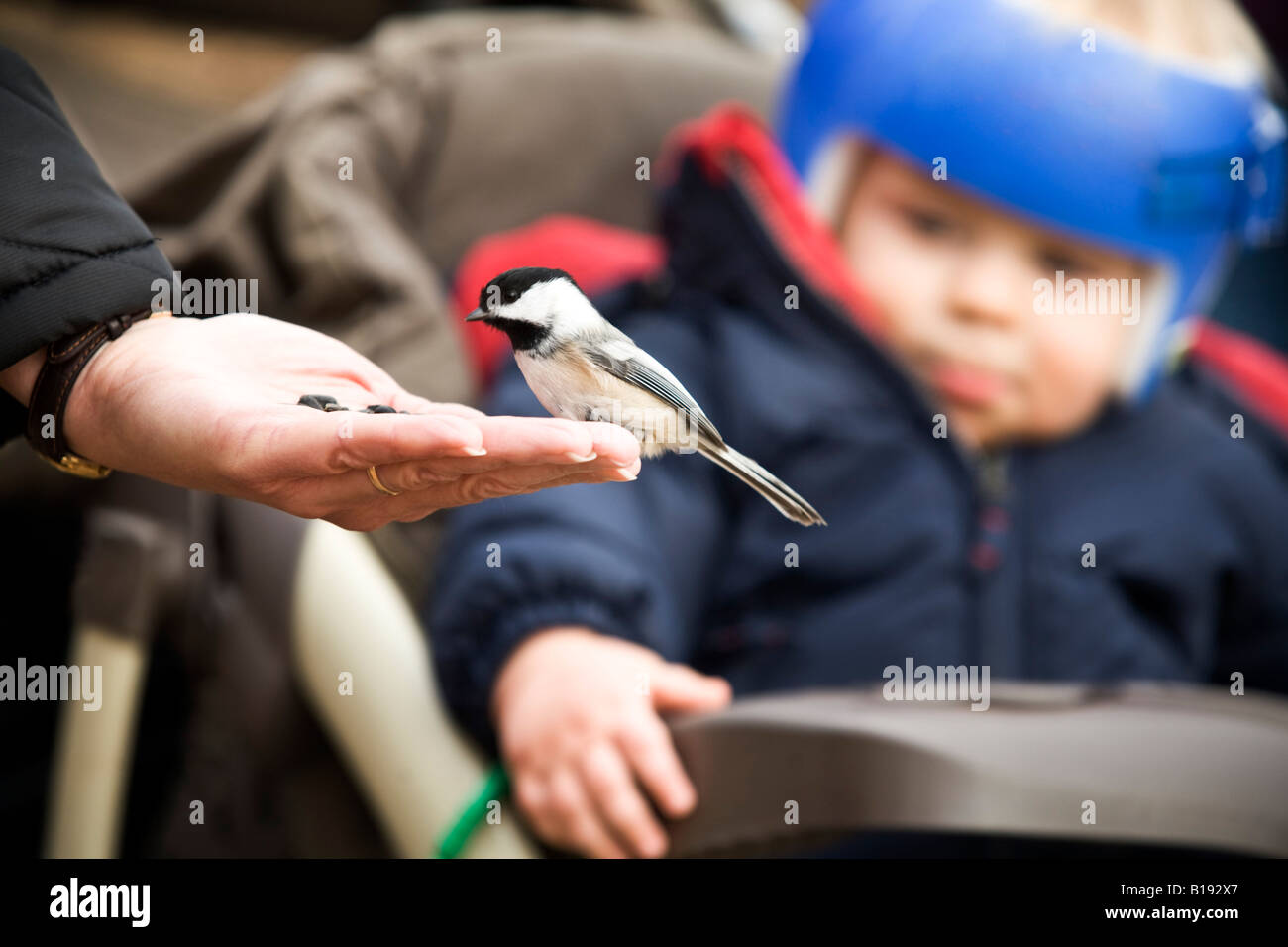 A bird eating out of a person's hand Stock Photo