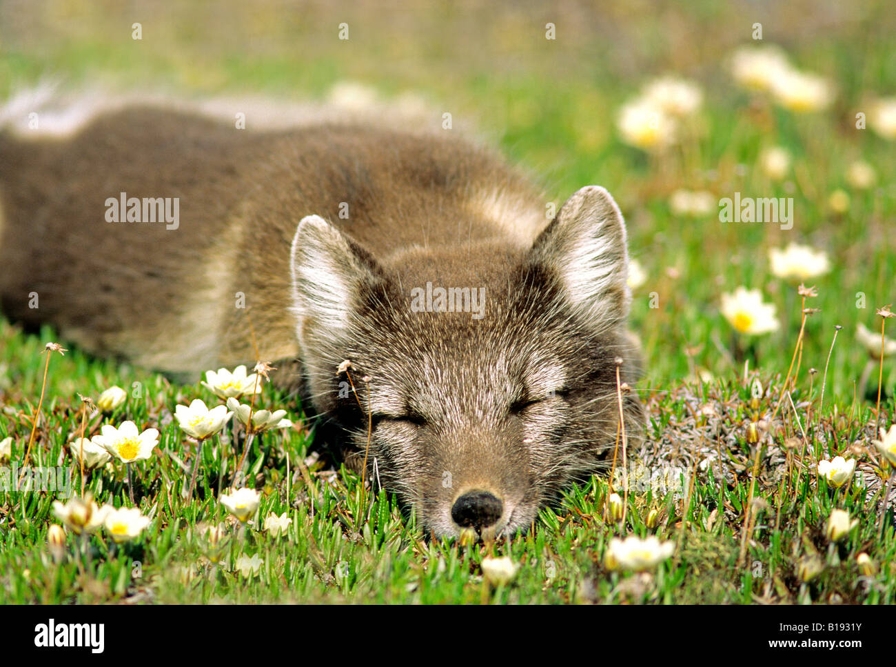 Arctic fox (Alopex lagopus) in summer pelage,    sleeping on a tundra of mountain avens (Dryas integrifolia), Arctic - Stock Image