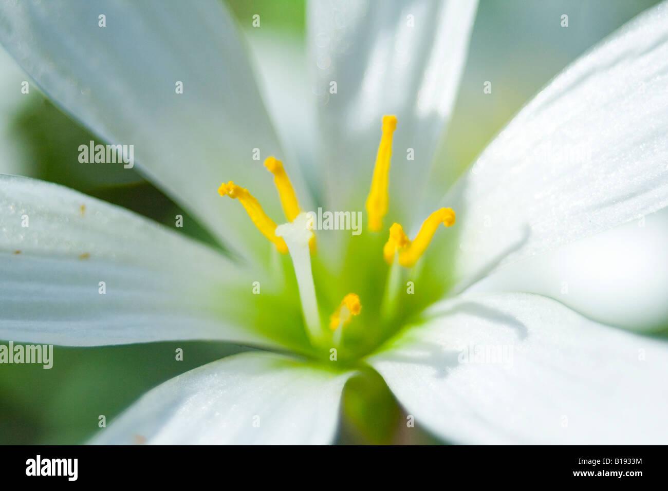 zephyranthes candida - Stock Image