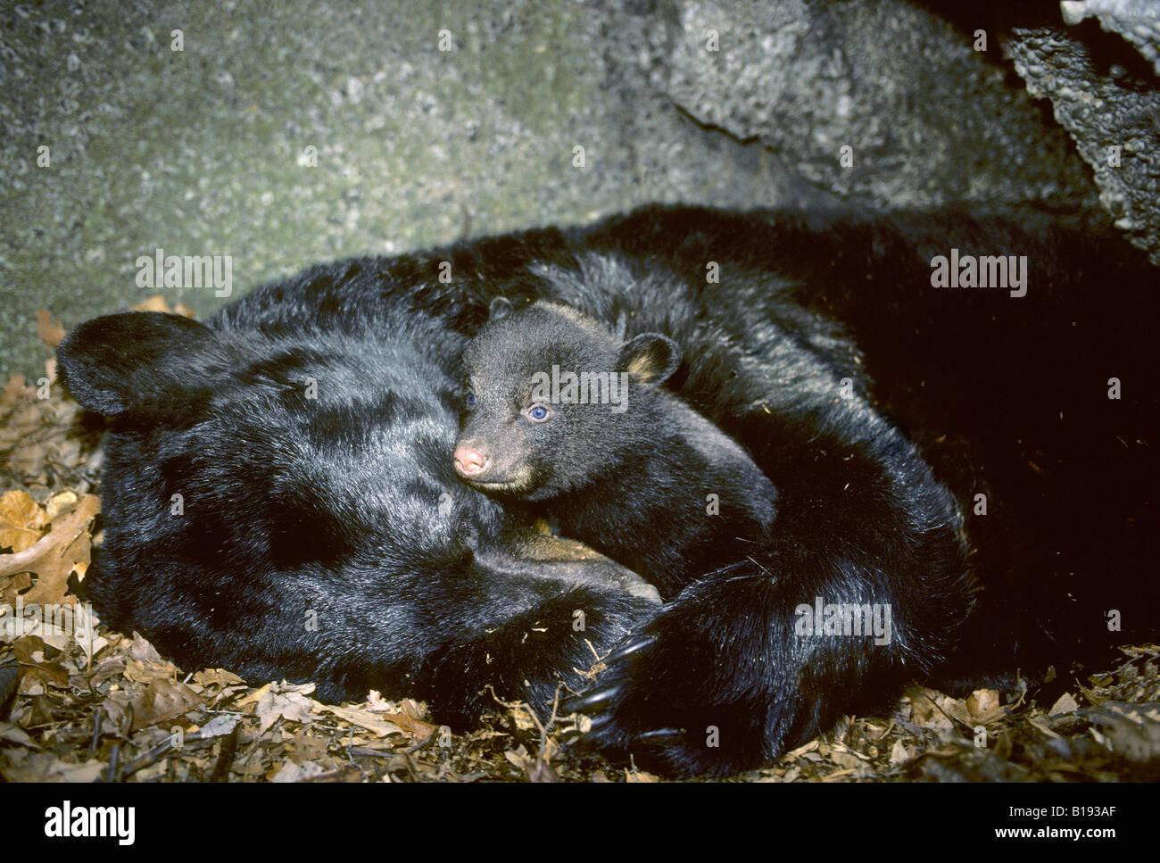 Hibernating mother black bear (Ursus americanus) with three-month old cub. - Stock Image