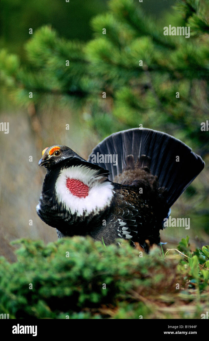 Adult male dusky grouse (Dendragapus obscurus), formerly called blue grouse, in spring mating display, Rocky Mountain Stock Photo