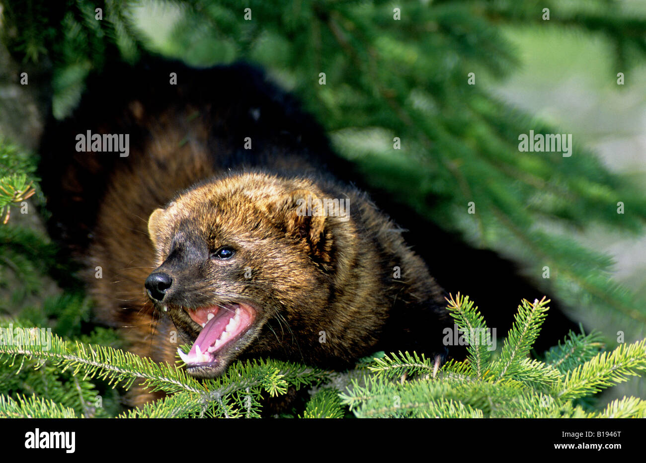Adult fisher (Martes pennanti) in a spruce tree, Alberta, Canada. - Stock Image