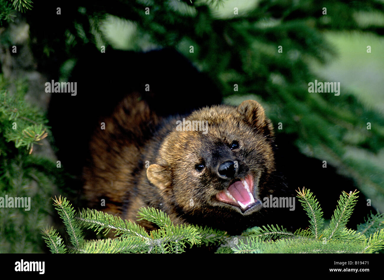 Adult fisher (Martes pennanti) climbing in a spruce tree, Alberta, Canada. - Stock Image