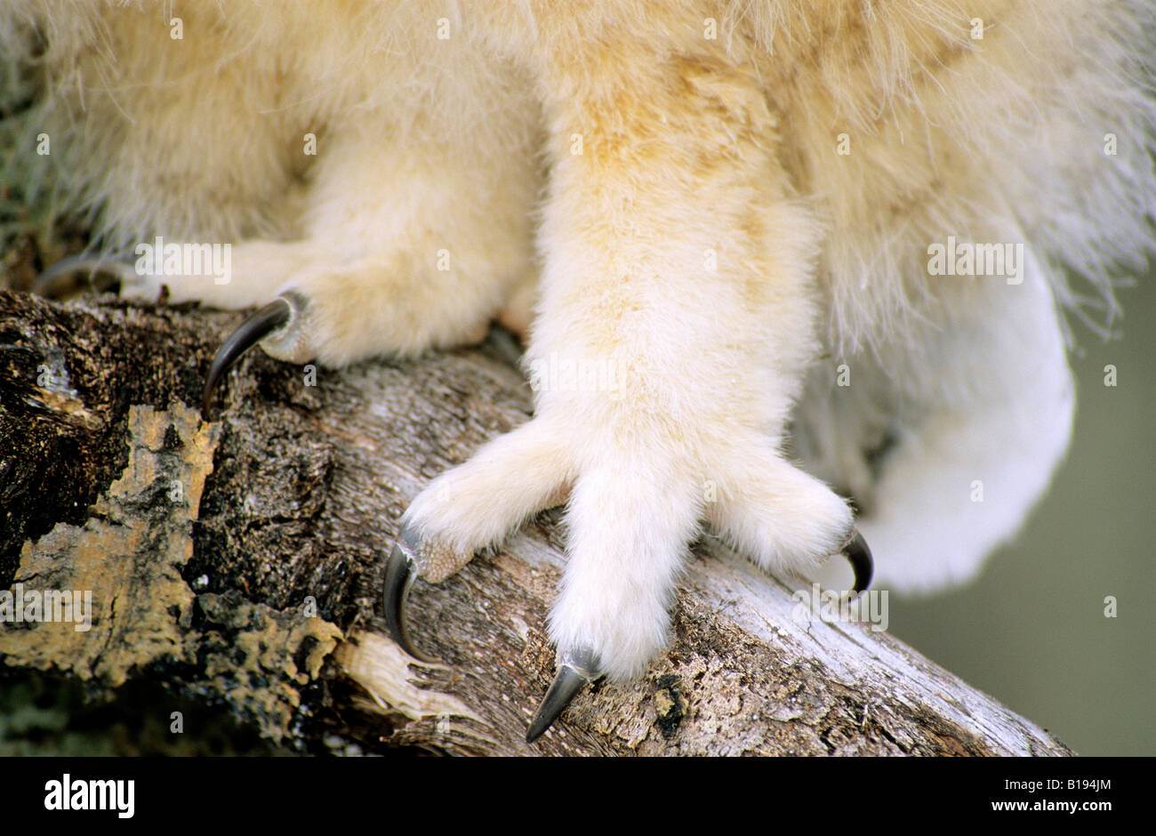 Foot & talons of a six-week old great horned owl chick (Bubo virginianus), southern Alberta, Canada - Stock Image