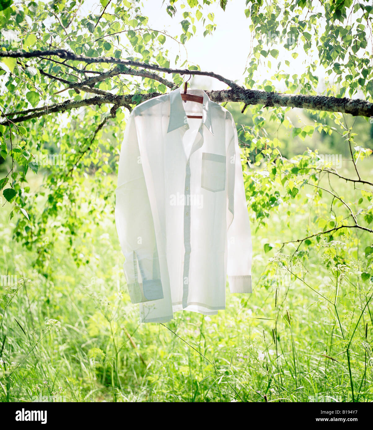 White shirt hanging on a branch of a birch tree - Stock Image
