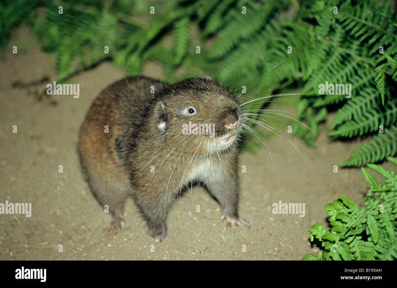 Mountain beaver (Aplodontia rufa), temperate rain forest ...