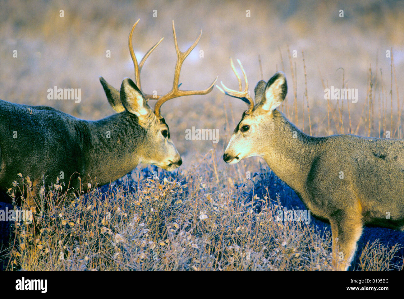 Sparring mule deer (Odocoileus hemionus) bucks during the autumn rut, Alberta, Canada - Stock Image