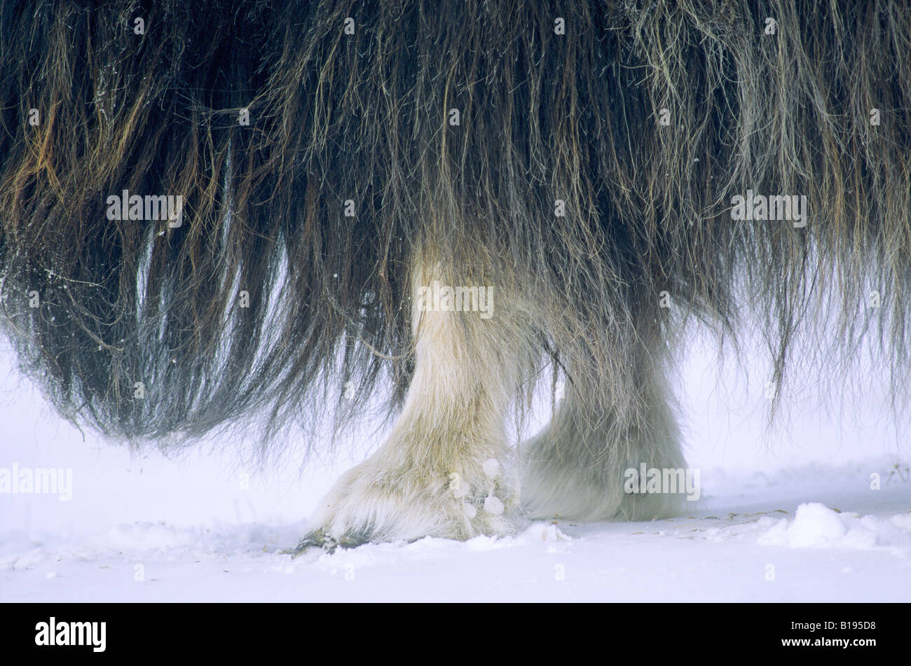 Long guard hairs on an adult muskox (Ovibos moschatus).  Banks Island, Northwest Territories, Arctic Canada. - Stock Image