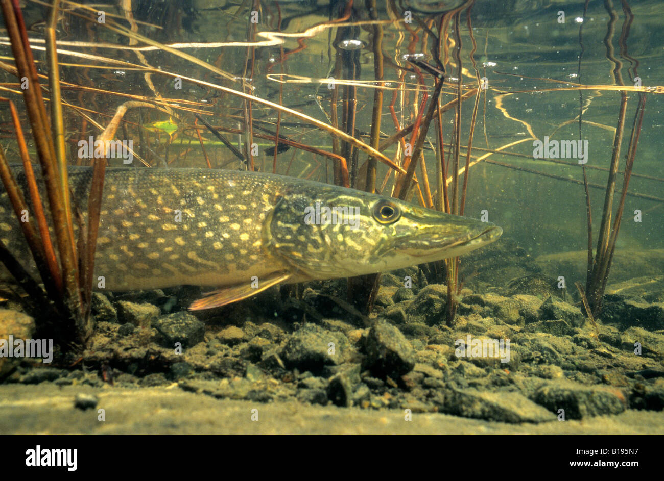 Northern pike (Esox lucius) basking in the warm shallows of a northern lake, Canada. Stock Photo