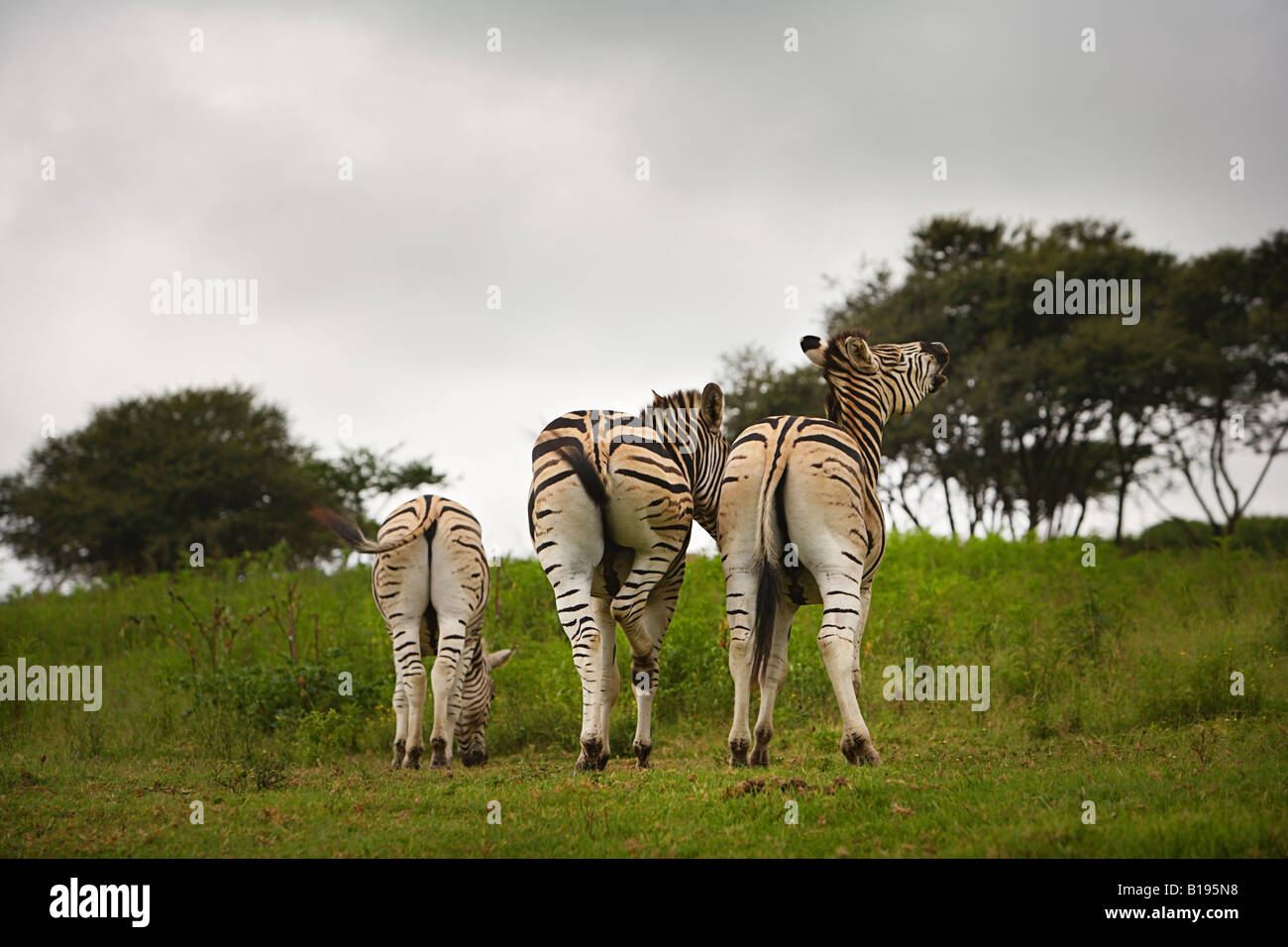 The backside of three zebras, South Africa - Stock Image