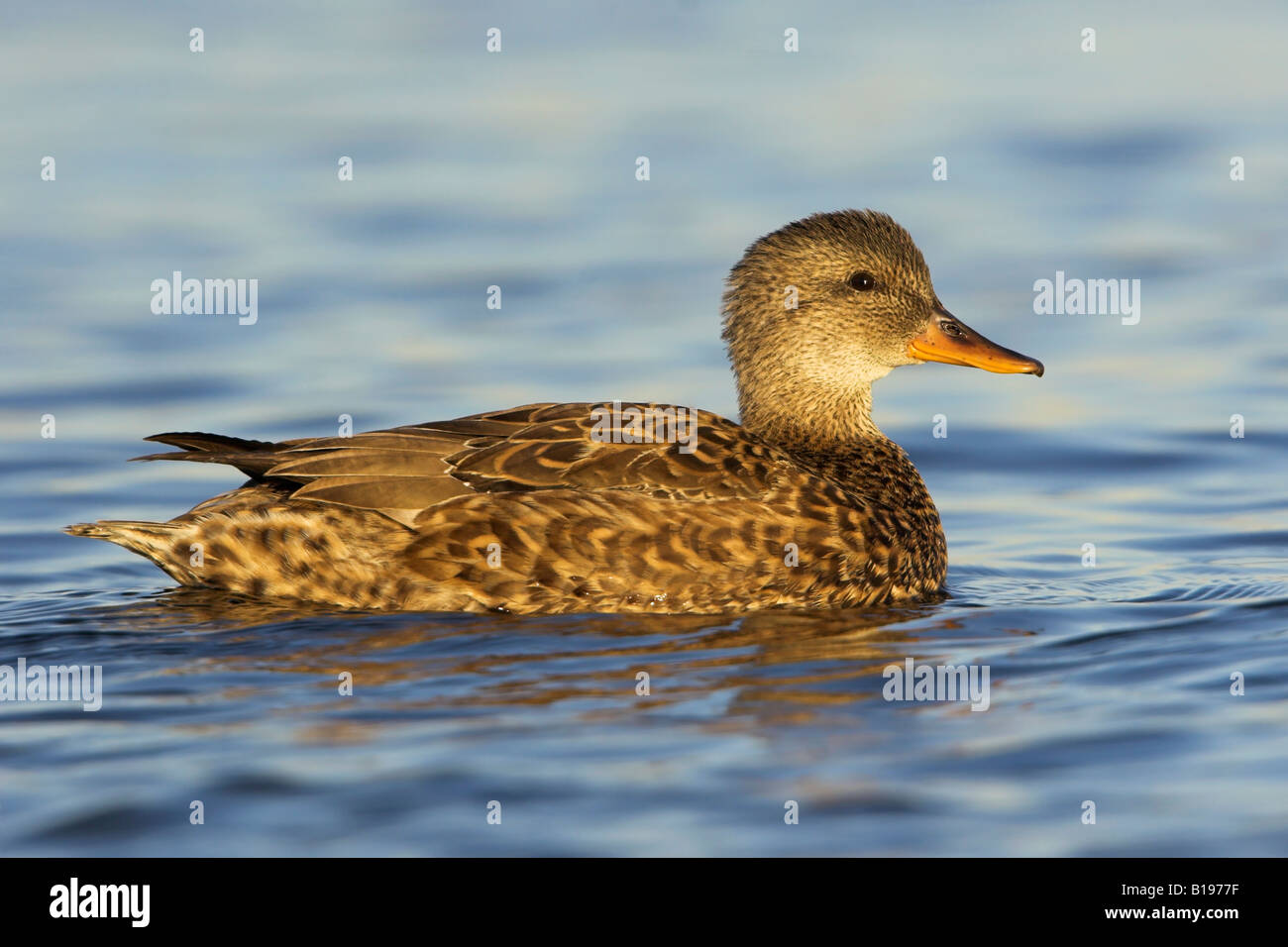 A Gadwall (Anas strepera) swimming in Lake Ontario in Etobicoke, Ontario Canada. - Stock Image