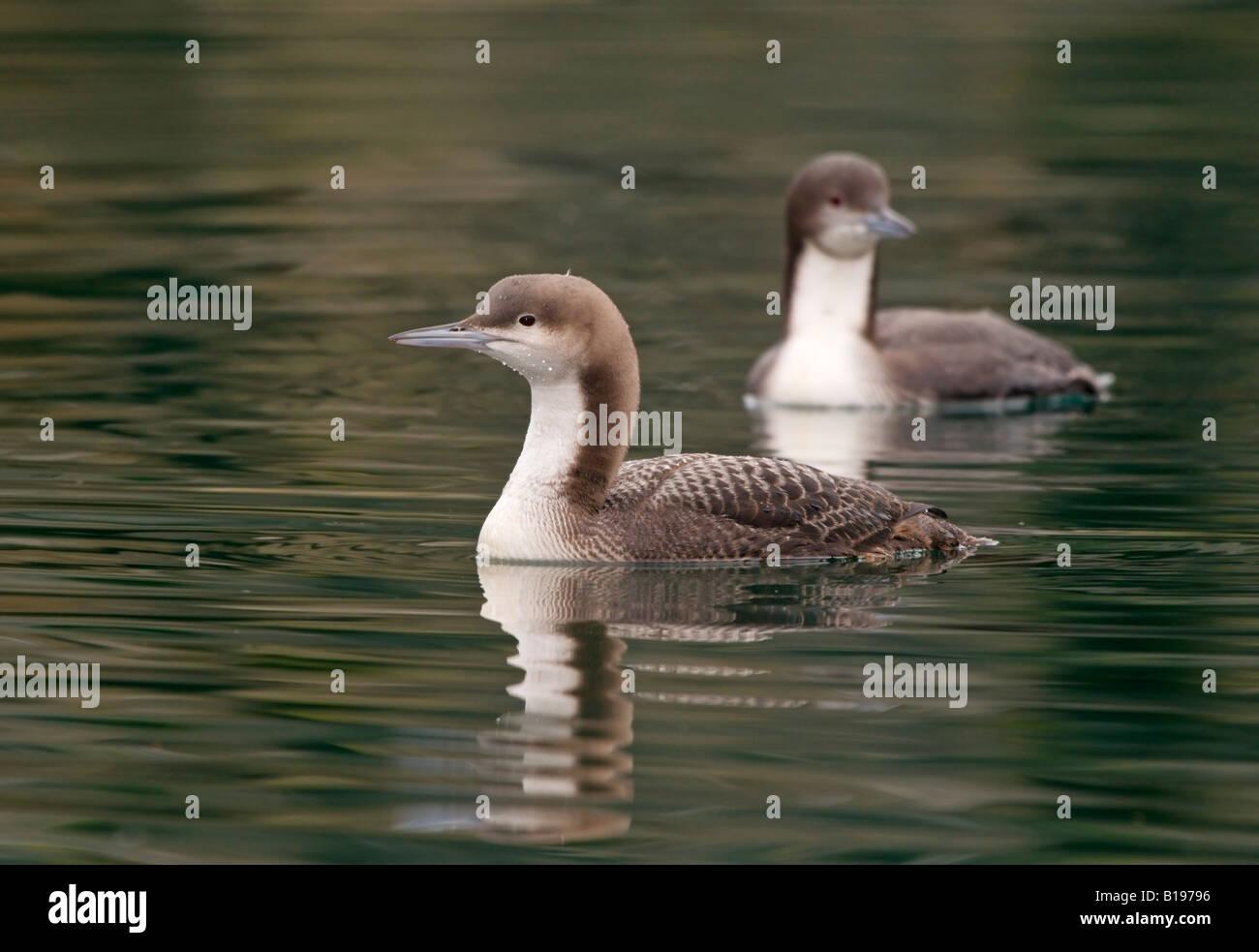 Pacific Loon off Oak Bay, Vancouver Island,  British Columbia, Canada. - Stock Image