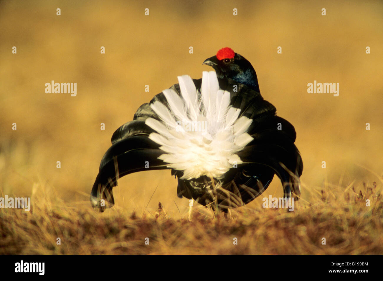Courting male black grouse (Tetrao tetrix), central Sweden - Stock Image