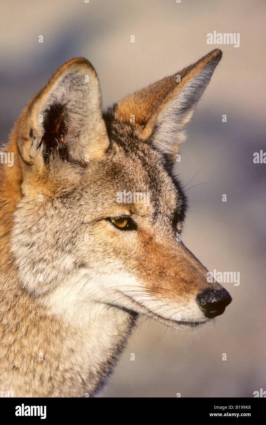 Adult coyote (Canis latrans), Mojave Desert, California, USA - Stock Image