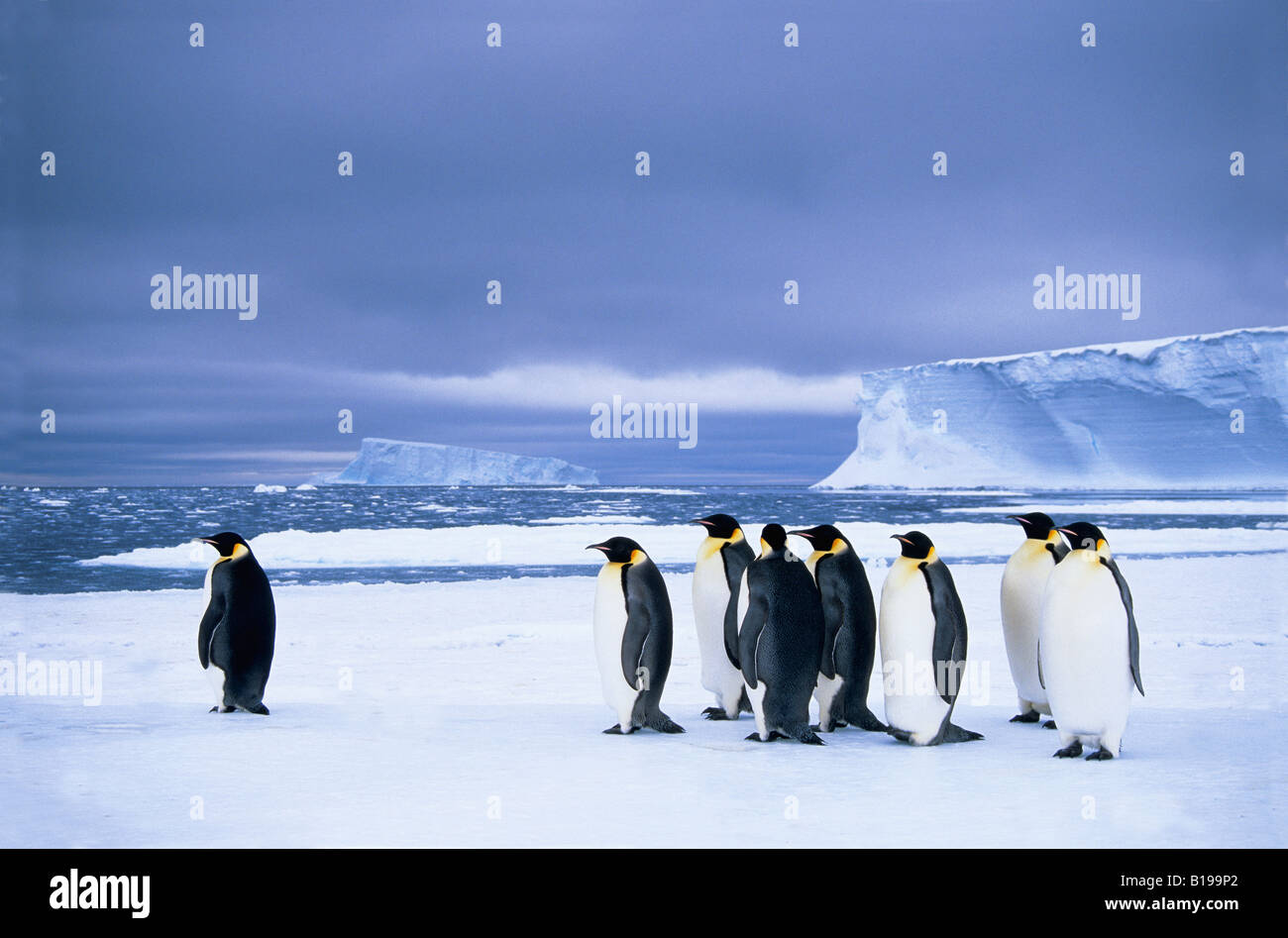 Emperor penguins (Aptenodytes forsteri) wait at the edge of the pack ice in preparation for a foraging journey out - Stock Image