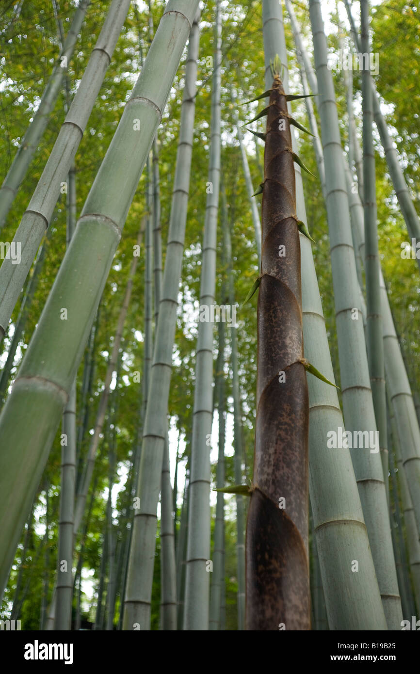 A turion of a gigantic bamboo (Phyllostachys viridis). Turion de bambou géant (Phyllostachys viridis). - Stock Image