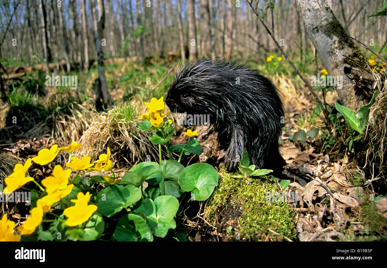 Month-old baby porcupine (Erethizon dorsatum) in a bed of marsh marigolds, eastern USA. Stock Photo