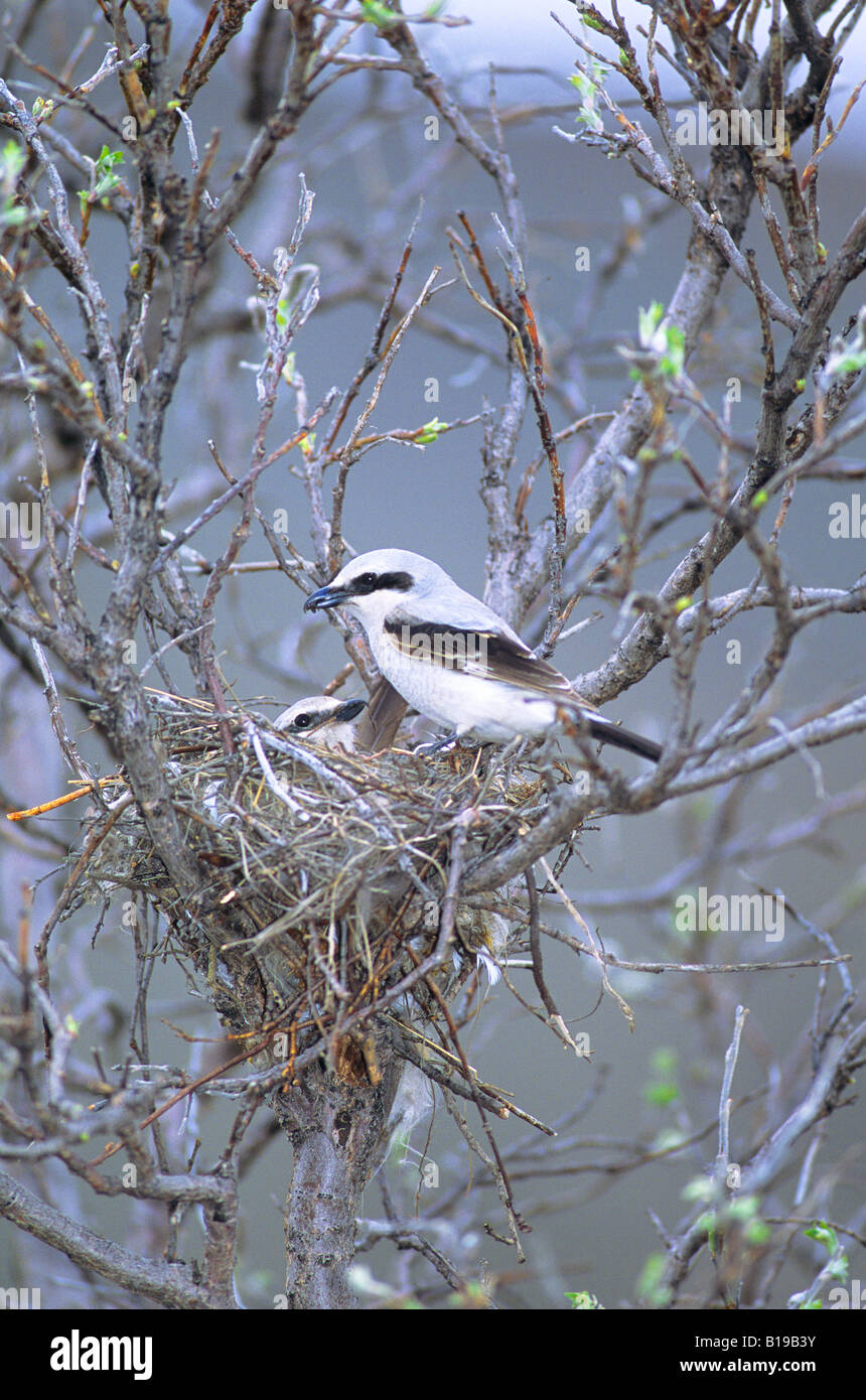 Male northern shrike (Lanius excubitor) delivering prey to incubating female, Denali National Park, Alaska - Stock Image
