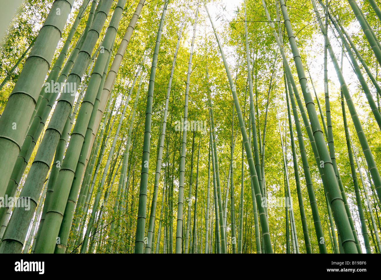 bamboo forest Kyoto Japan - Stock Image