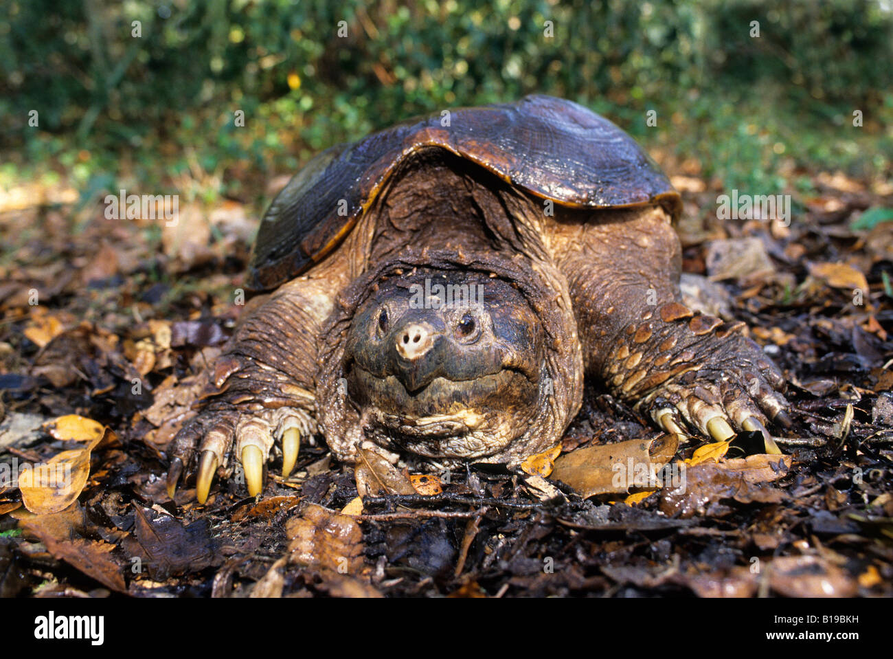Adult snapping turtle (Chelydra serpentina osceola), central Florida, USA - Stock Image