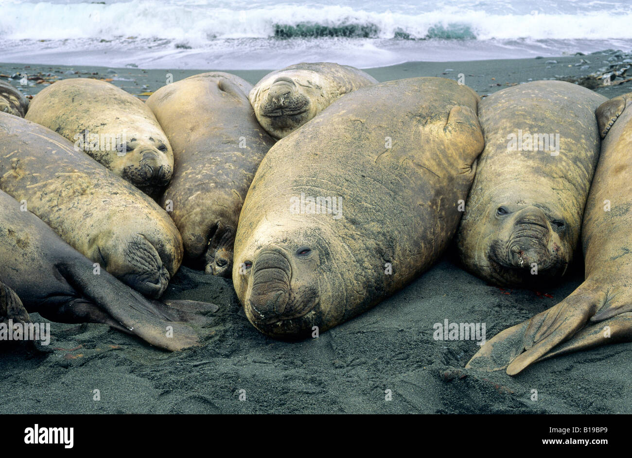 Southern elephant seal (Mirouanga leonina) bulls basking on the beach, Macquarie Island, Sub-Antarctic Australia - Stock Image