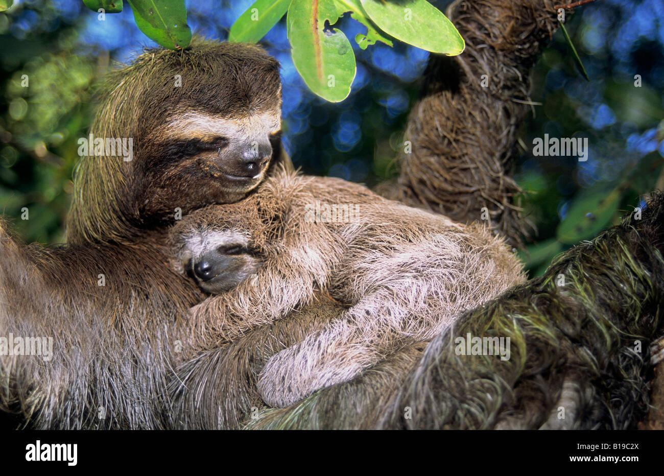 Mother three-toed sloth (Bradypus variegatus) and young, coastal mangroves, Panama, Central America. Stock Photo