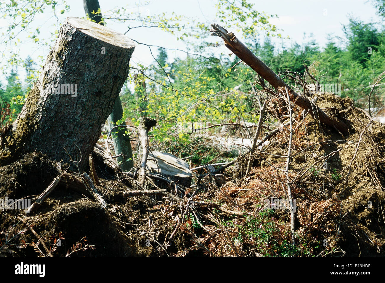 Uprooted tree trunks and roots - Stock Image