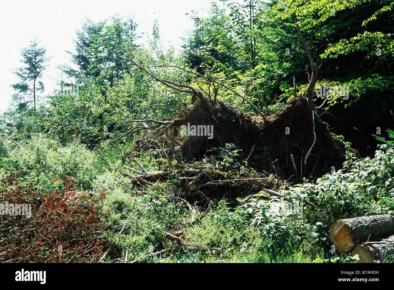 Uprooted tree - Stock Image