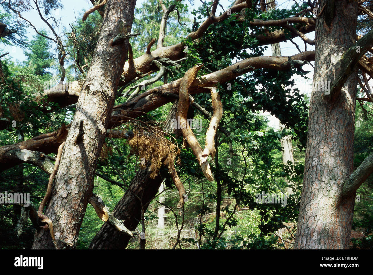 Fallen trees and broken branches in woods after storm - Stock Image