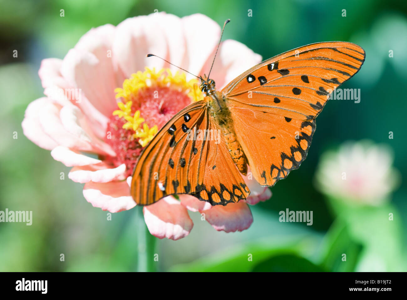 Gulf Fritillary butterfly on flower - Stock Image